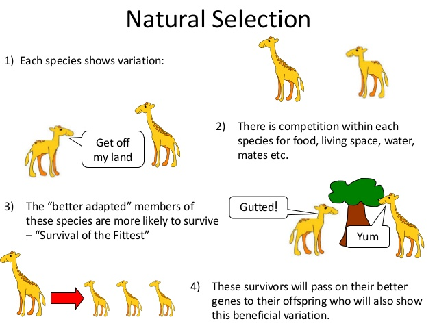 Why Does Natural Selection Lead To Evolution Four Steps